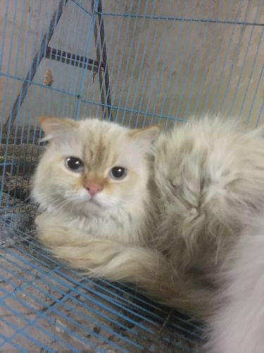 Persian Cat for sale(
