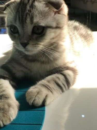Scottish fold cat for mating/male