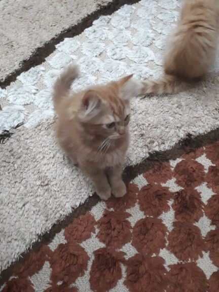 cats for sale .. 4 months + the mum