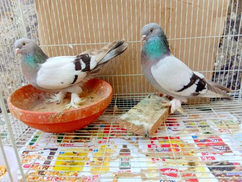 Safaki  bar breeding pair
