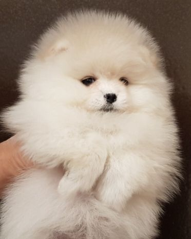Pomaranian fluffy puppy dog