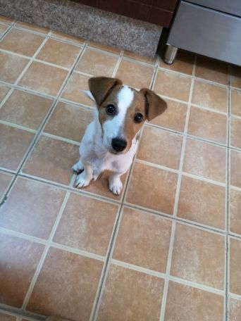 jack russell lost