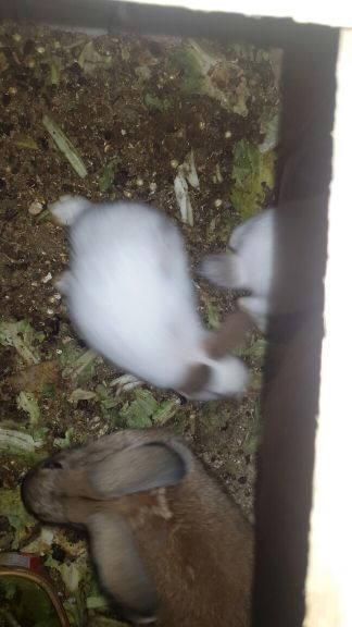 local  rabits for sale..tow pairs  600rq