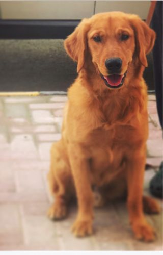 Pure golden retriever