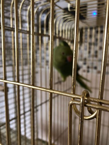 Green parrot for sale 200