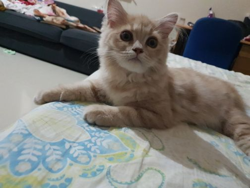 siberian female 3 month - includes cage