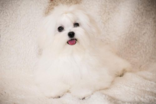 Maltese dog required