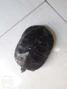 tertle for sale only 50 riyals