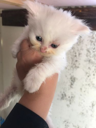 Cute perscian kitten for sale