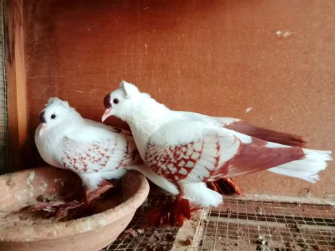 Saxon swallow breeding pair