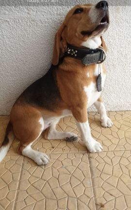 Beagle for sale 9months old female