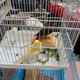 singing canari for sale