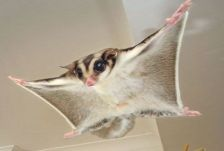 Sugar Glider For Sale Healthy and Friend