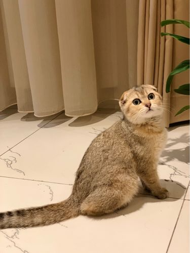 Scottish fold cat with her things