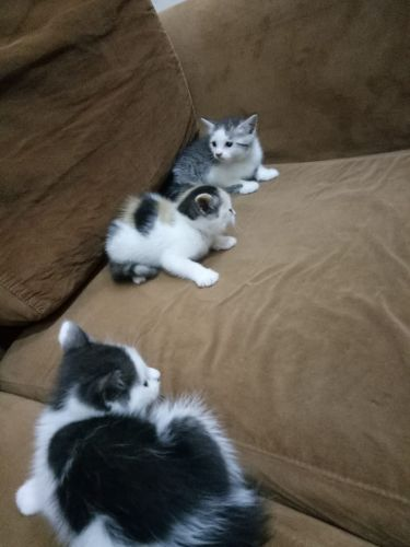 Mixed Himalayan Kittens for sale