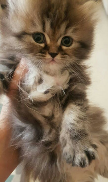 pure persian kittens for sale