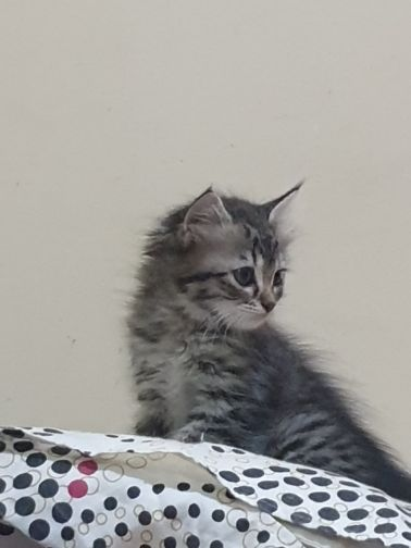 kitten female persian