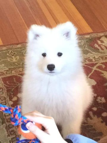 pure samoyed puppies champions for sale