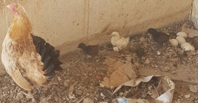 Hen with 6 chicks