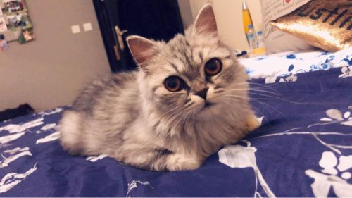 Siberian cat for sale