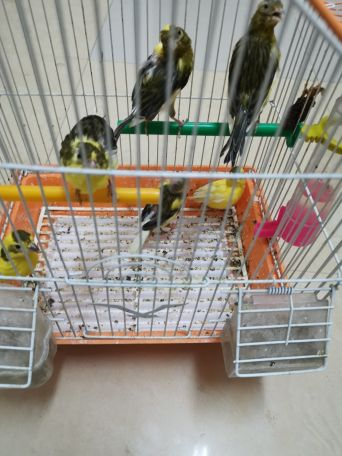 6 canary's for sale..