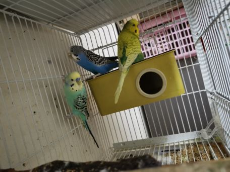 3badgie.. 2 male 1 female widout cage