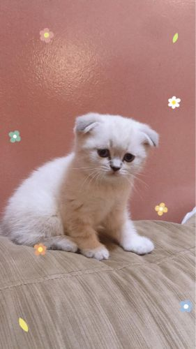 White Scottish Fold Boy
