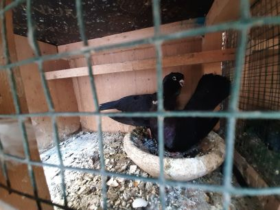 for sale  breading pair