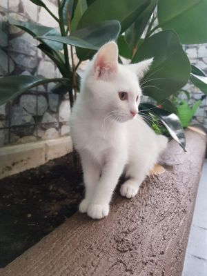 4 months old Persian cat white female