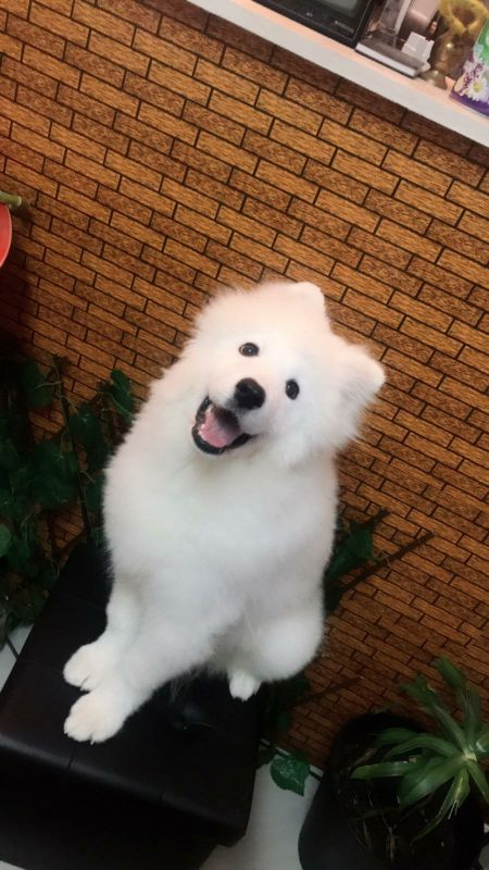 Samoyed  puppy female and male together