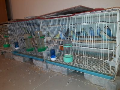 BIRDS RAISED IN SAME CAGE, MOST MATING!
