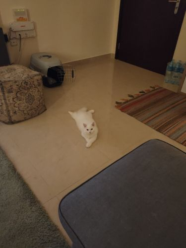 white Turkish Angora kitten