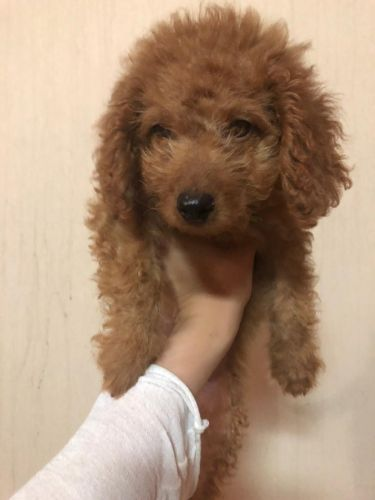 Poodle puppy female on sale