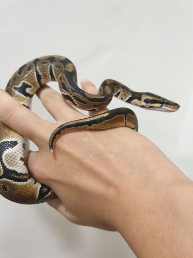 ball python friendly with delivery