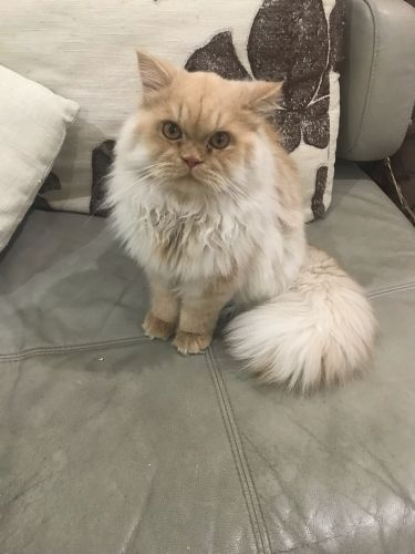 Male cat for breeding
