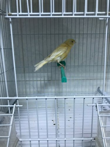 Female canary Syrian