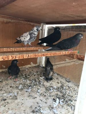 for sell 5 pigeons
