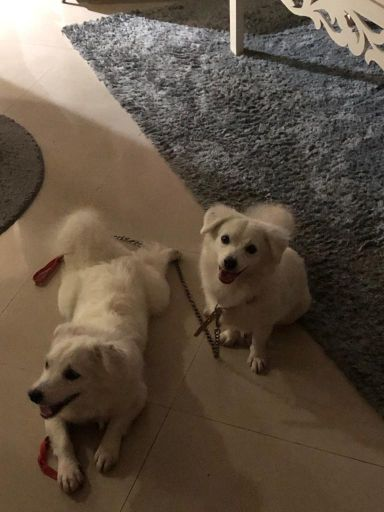 two pomeranians male and female