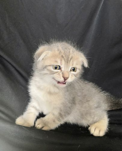 Scottish fold males