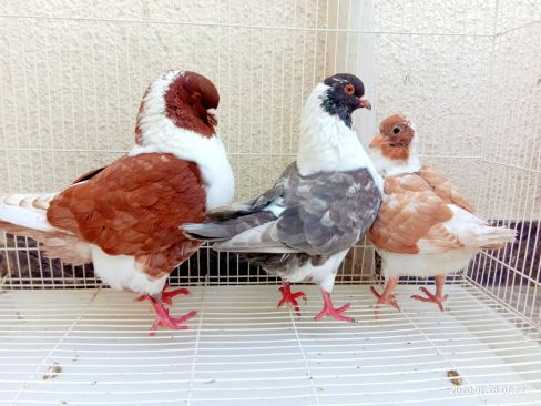 Ring mudeena breeding pair