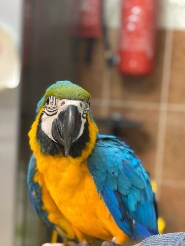 Macaw 5 months