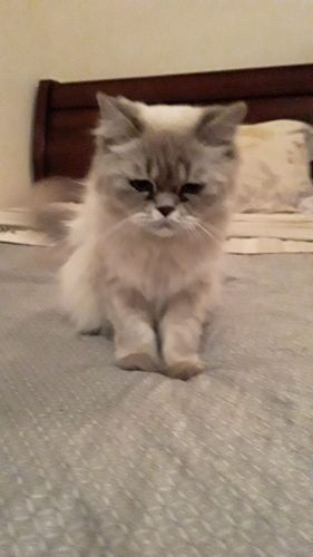 Himalayan/Persian Female Cat