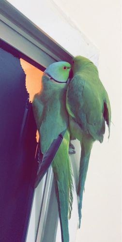 Green parrot male and Female sale