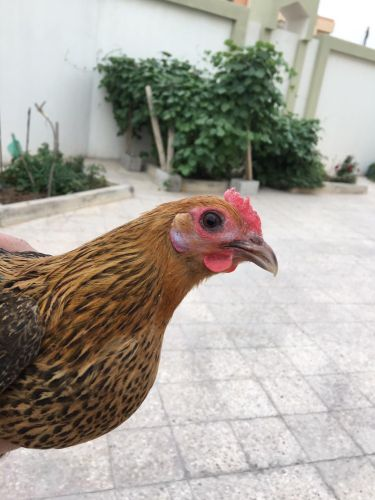 Chicken Layer & Rooster For Sale