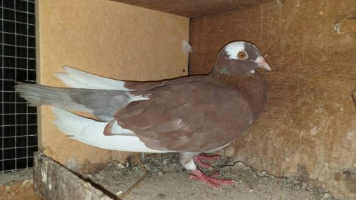 for sale pigeon