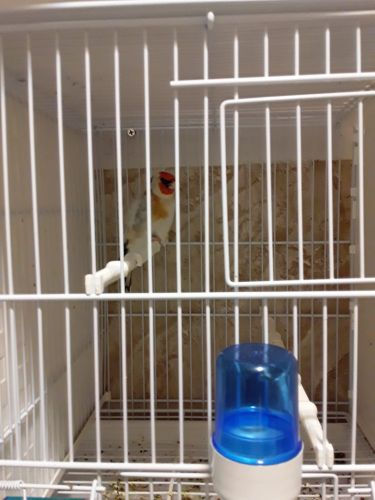 Goldfinch europe male for sale