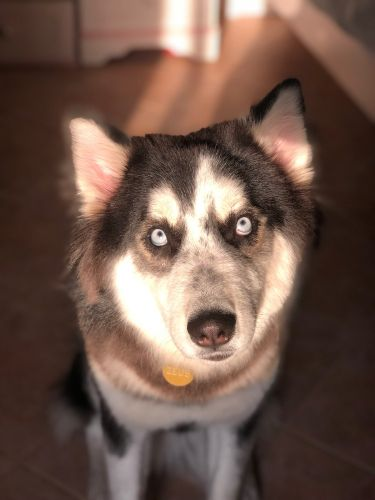 husky dog for sale