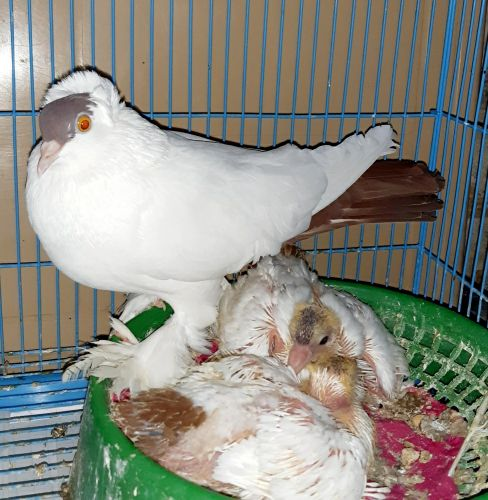 1 pair of pigeons and 2 babies