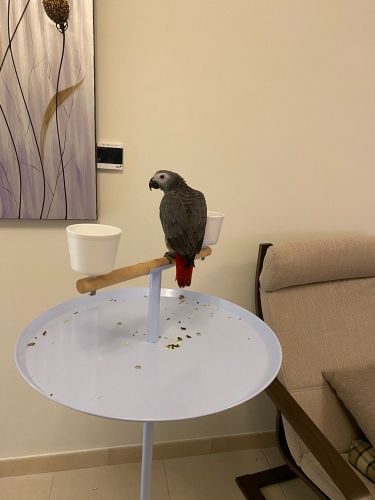 Gray red tail parrot for sale