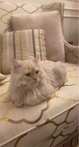 Male Shirazy cat 8 months old
